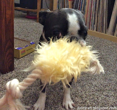 Boston terrier with Harry Barker fuzzy dog toy
