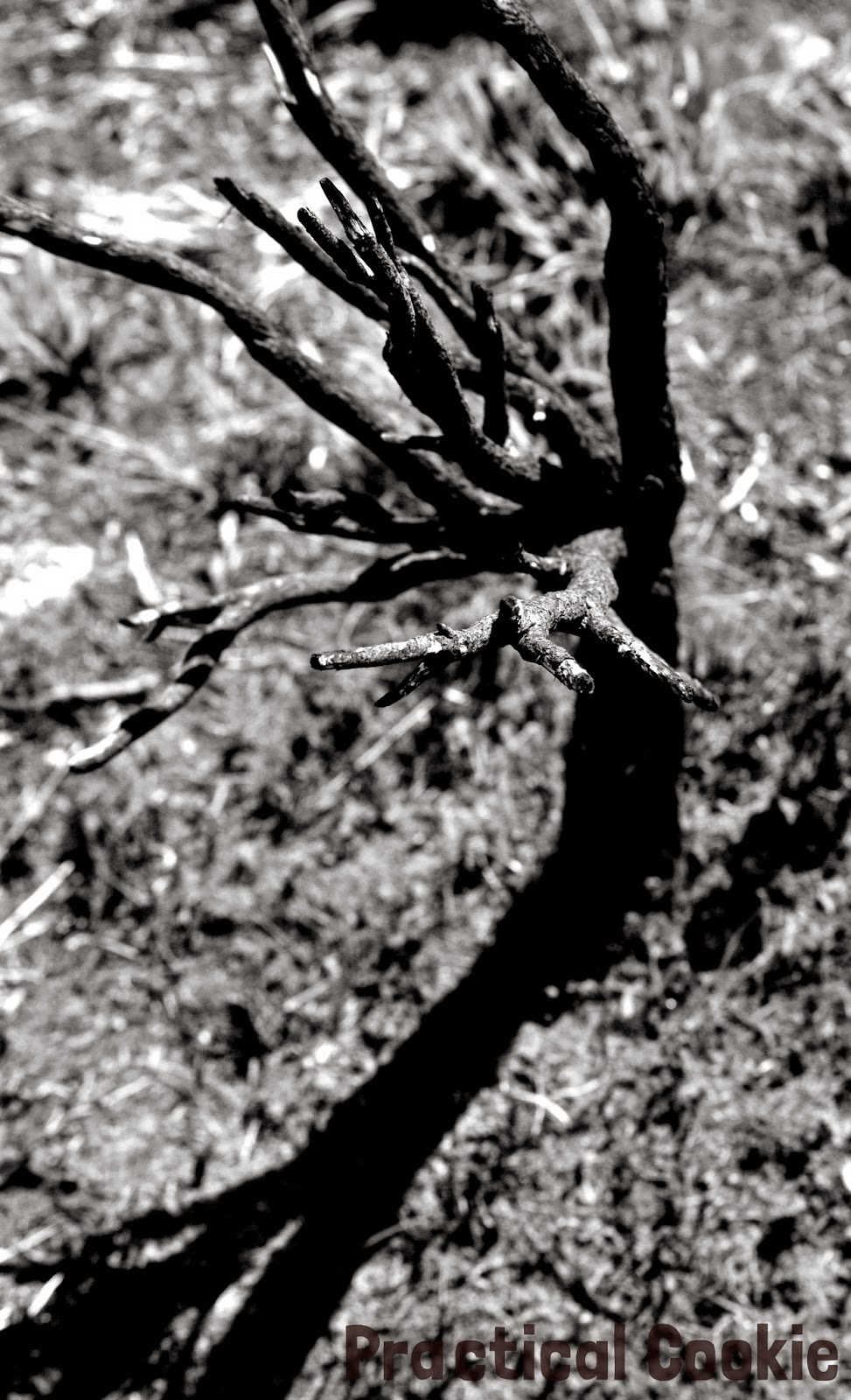 Tree and shadow in black and white