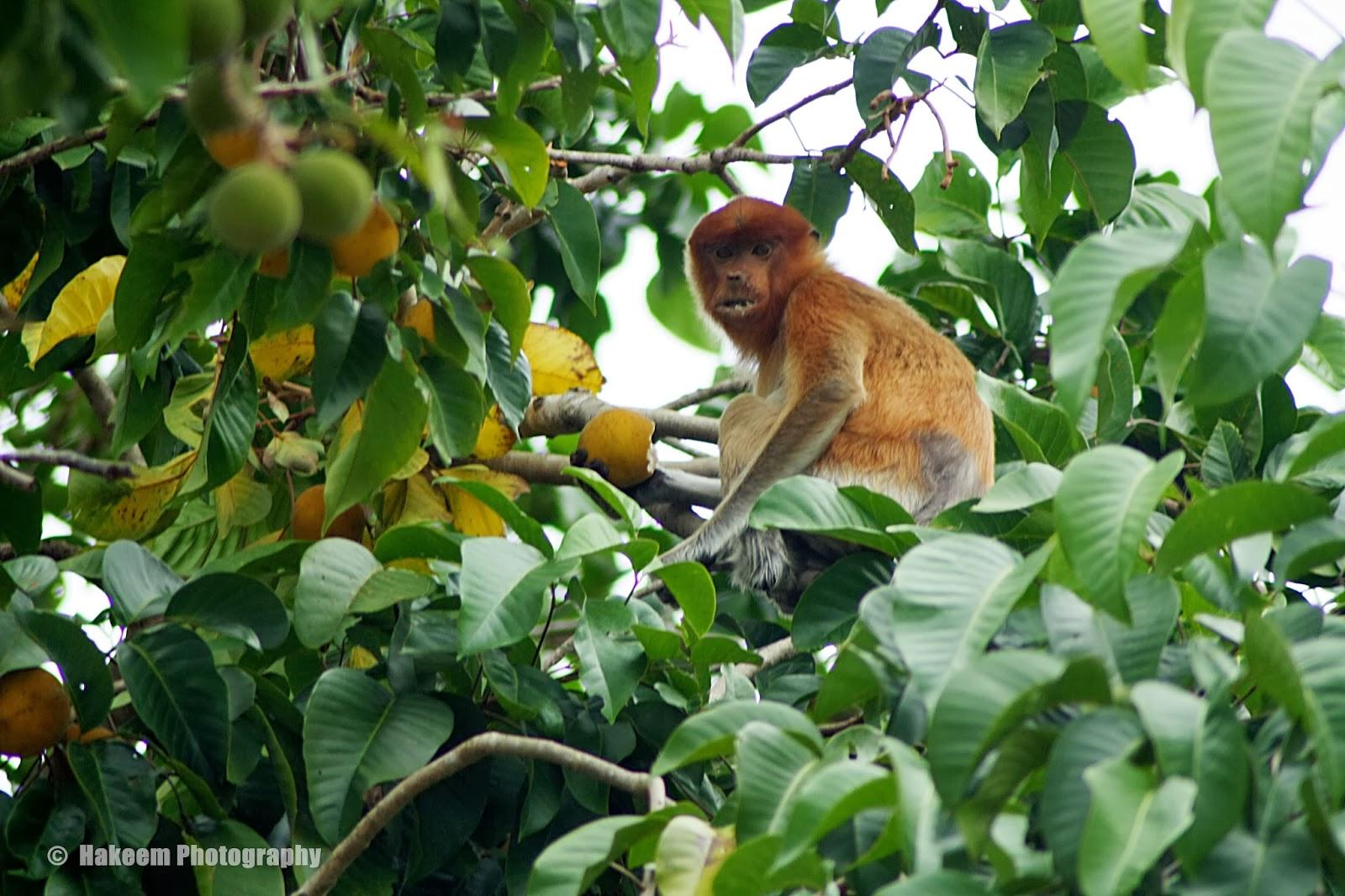 Anak bekantan memakan buah ketapi