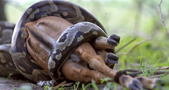 بالفيديو أغرب الأشياء التي قامت الثعابين ببلعها في العالم .