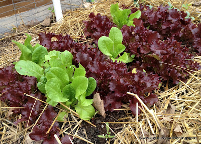 Lettuce growing in part shade