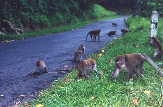 Monyet liar di kelok 44 maninjau