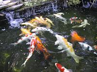 Secrets of japan koi koi fish care info for Koi pond kh level