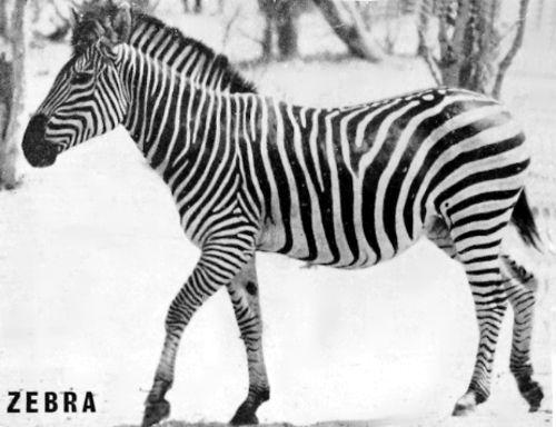 Zebra Scientific Name Our Rhodesian Heritage...