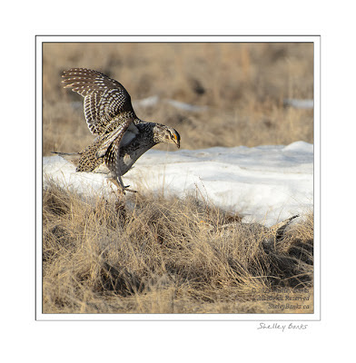 Sharp-tailed Grouse - leaping at another  © SB  Copyright Shelley Banks, all rights reserved.