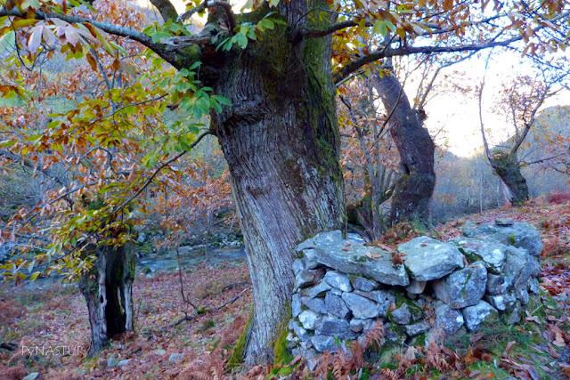 Castañal con cuerría en junto al Río Casaño - Asturias
