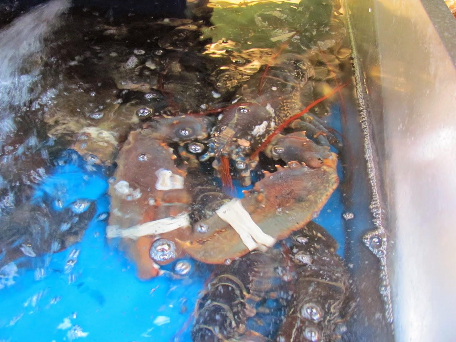 European Atlantic Clawed Lobster