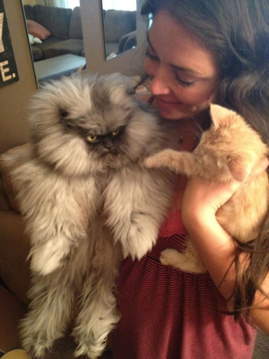 Colonel_Meow_Angriest_cat_06.jpg