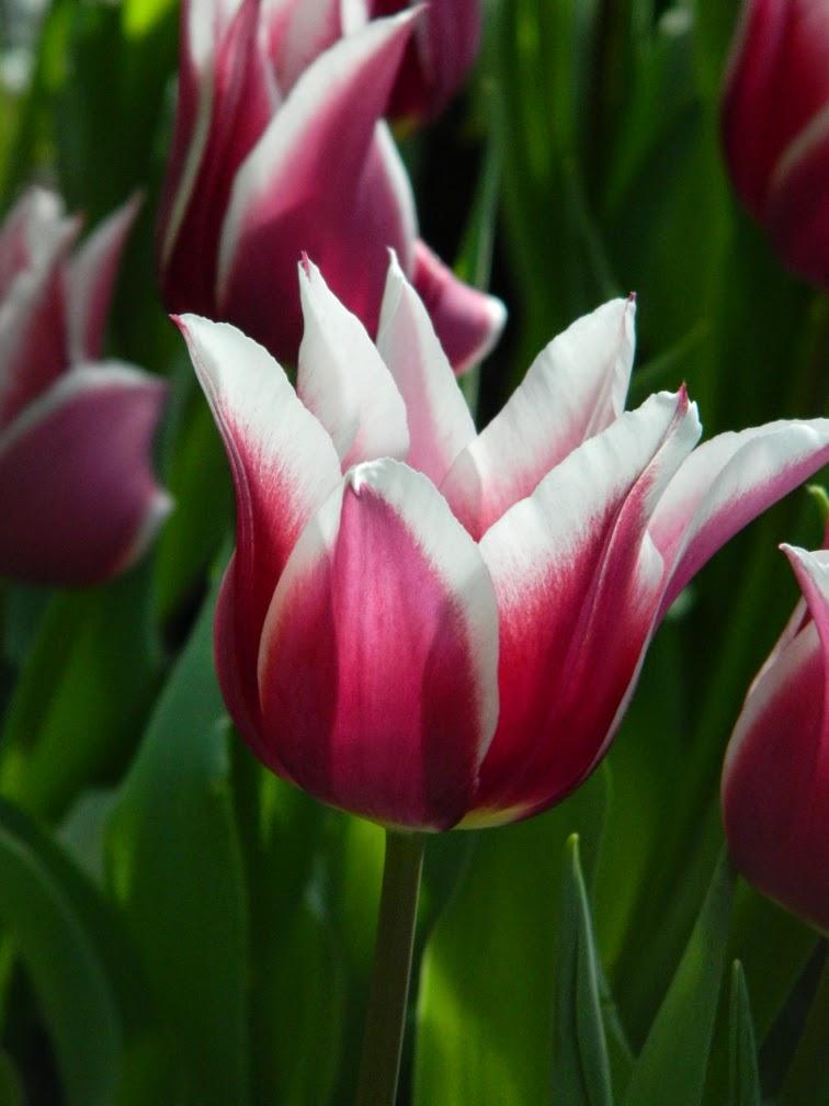 Allan Gardens Conservatory 2015 Spring Flower Show Tulipa kaufmanniana  by garden muses-not another Toronto gardening blog