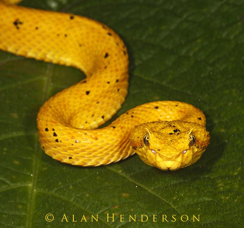 Blue eyelash viper - photo#14