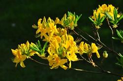 Die gelben Lichter in unserem Garten...