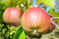 un árbol frutal