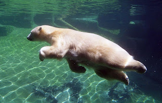 polar bear swim cute wild animal wallpaper