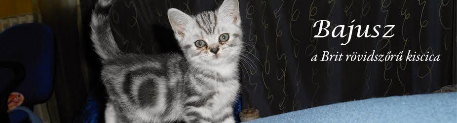 Bajusz - a Brit rövidszőrű kiscica