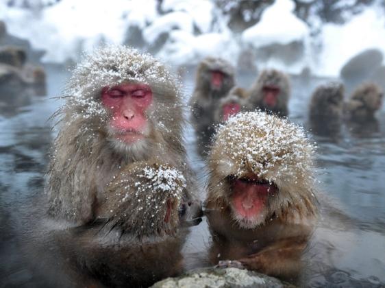 Baños Termales Japon: : Monos combaten el frío con baños de aguas termales – Taringa