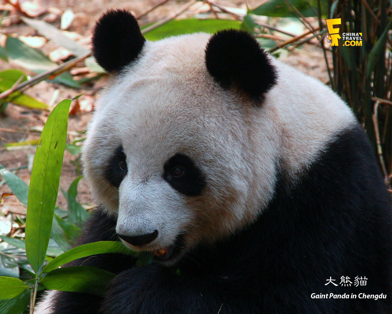 a background on the giant panda Download 1,959 panda background stock photos for free or amazingly low rates new users enjoy 60% off 80,498,661 stock photos online.