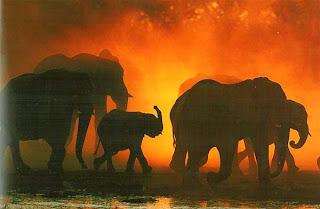 Слоны на закате, Ботсвана