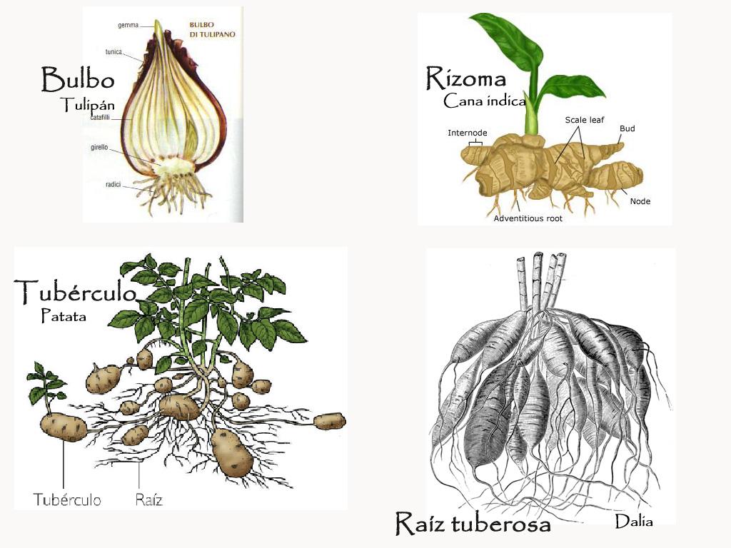 Tipos de reproduccion asexual rizomas