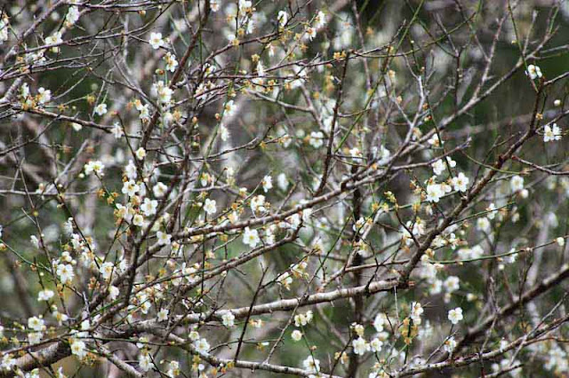 tree, branches, plum blossoms
