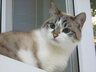 Siamese Cat Picture