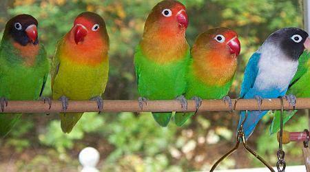 daftar harga burung lovebird labet terbaru 2018 tips