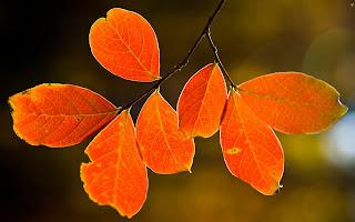 Backlit Fall Leaves HD Wallpaper