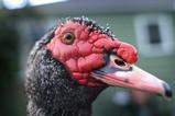 Ošklivá nebo hezká O'Malleyho kachna