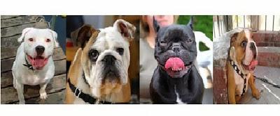 bulldog americain bulldog americain bulldog americain bulldog americain bulldog americain