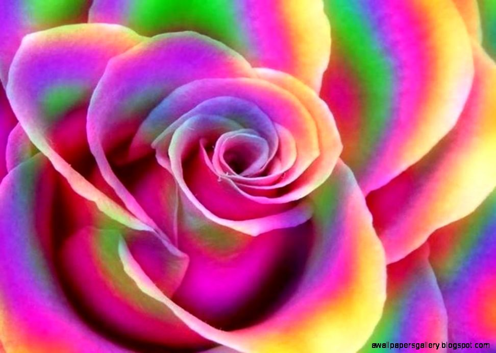 Rainbow rose wallpaper wallpapers gallery for Rainbow rose wallpaper