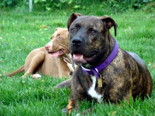 American Pitbull Terrier Images