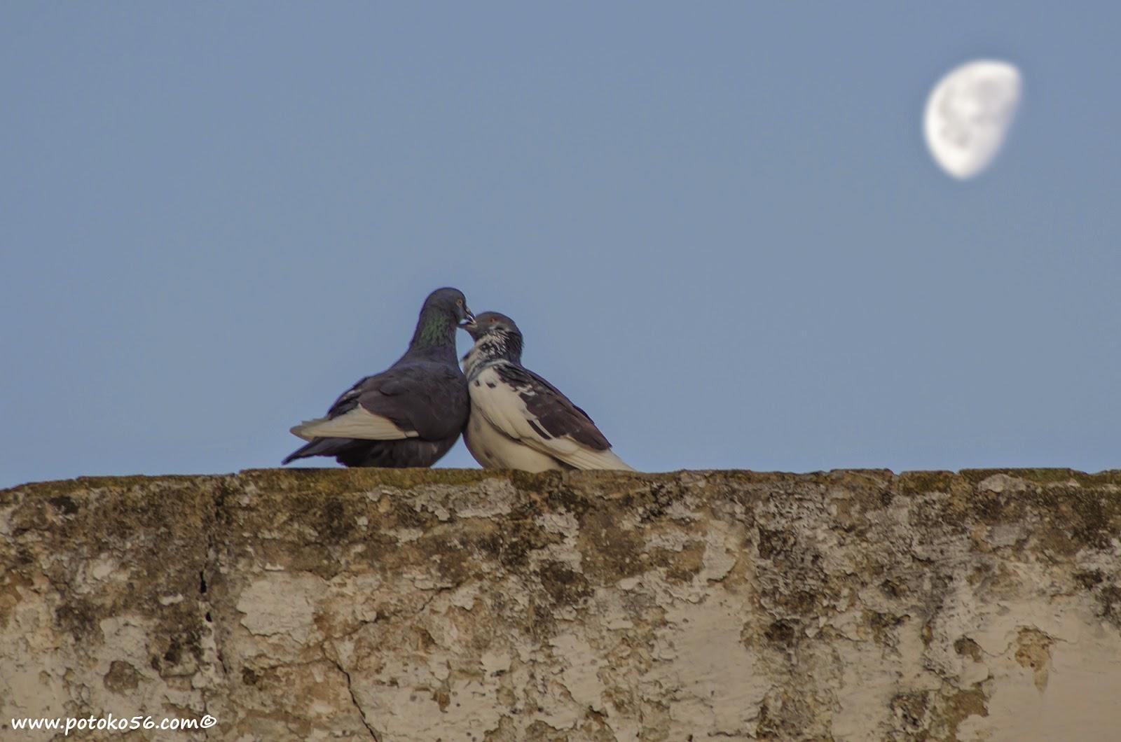 Una pareja de palomas se comen a besos en el Castillo de luna Rota