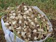 Erme. Garlic machinery