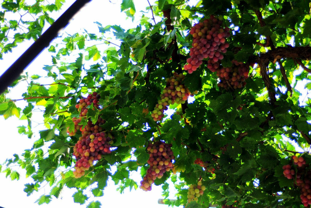 Виноград душистый фото 6