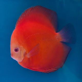 beau discus rouge