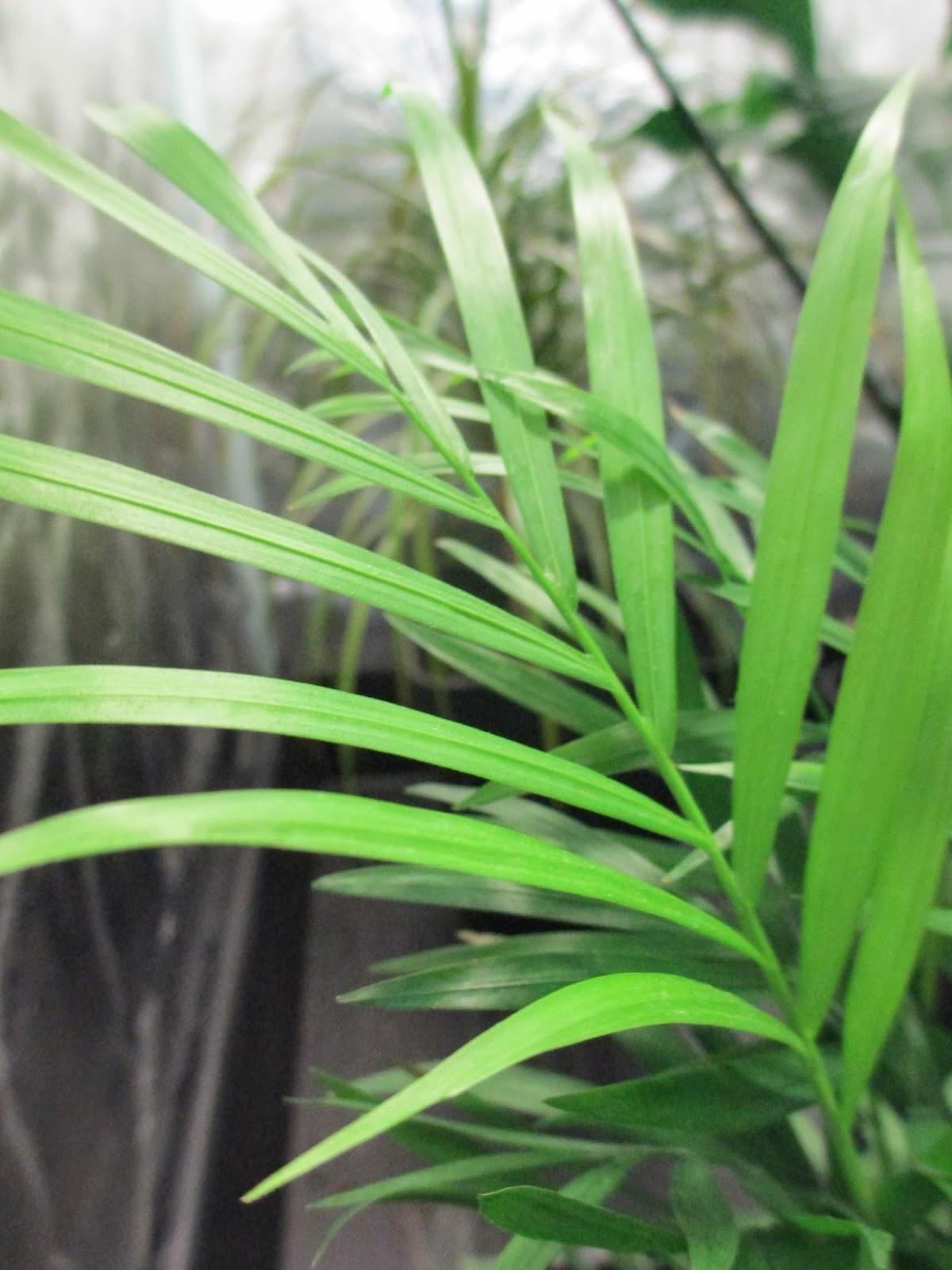 La mar de verde chamaedorea elegans o palmera de salon - Planta de salon ...