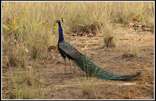 Indian Peafowl at Kanha National Park