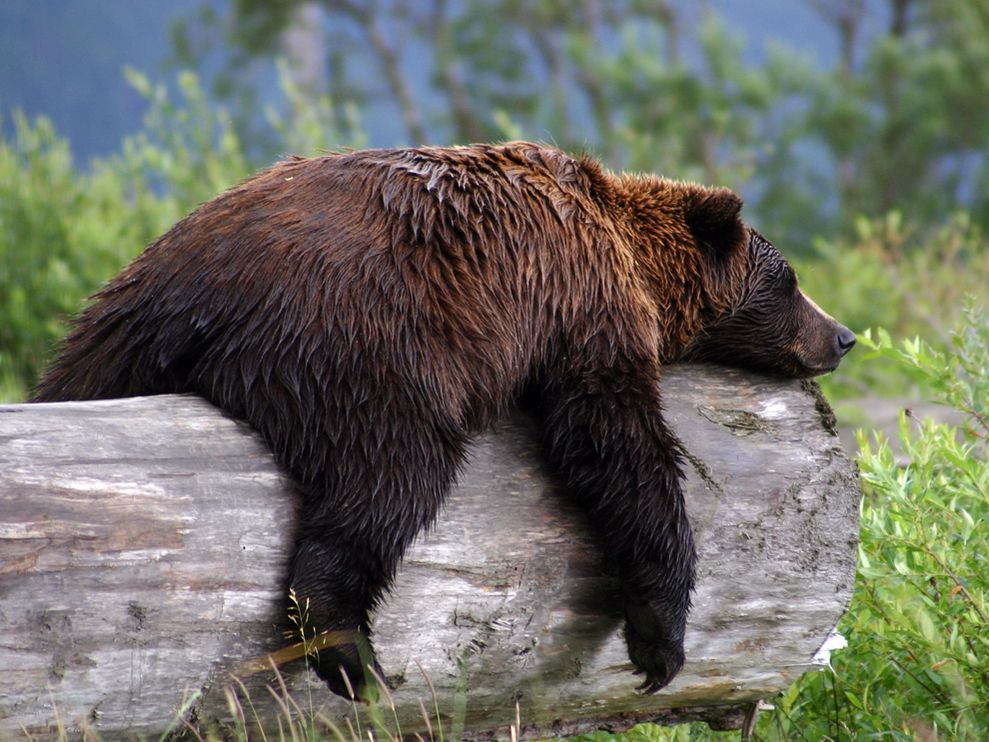 grizzly-bear grizzly-b...