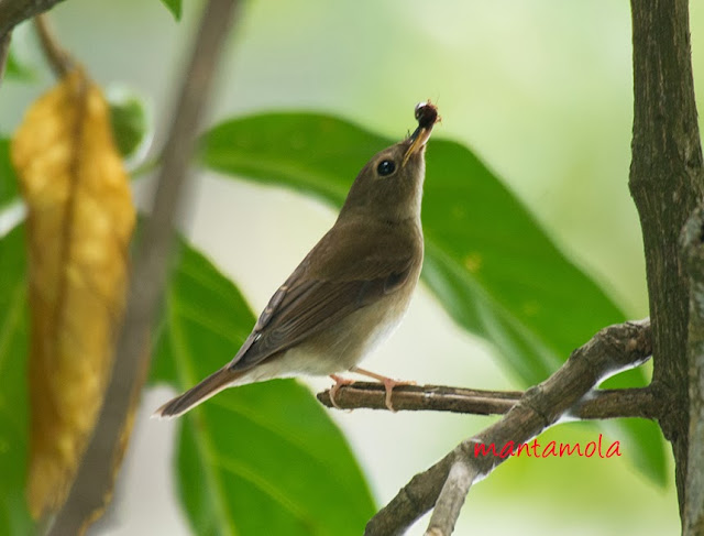 Brown-Chested Jungle Flycatcher (Rhinomyias brunneata)