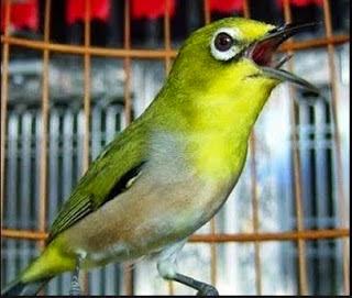 Download Mp3 Suara Kicau Burung Pleci (Kacamata) Terbaru