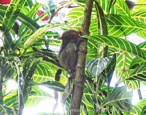 Philippine tarsier in Bohol
