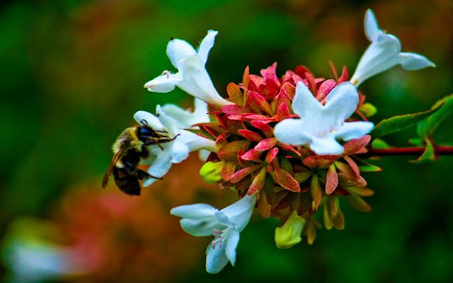 bee,honey bee,honey,Animalia ,Arthropoda,nectar,Apinae