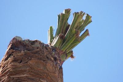 'Brotes verdes' en palmeras del Parque del Retiro (Jerez)