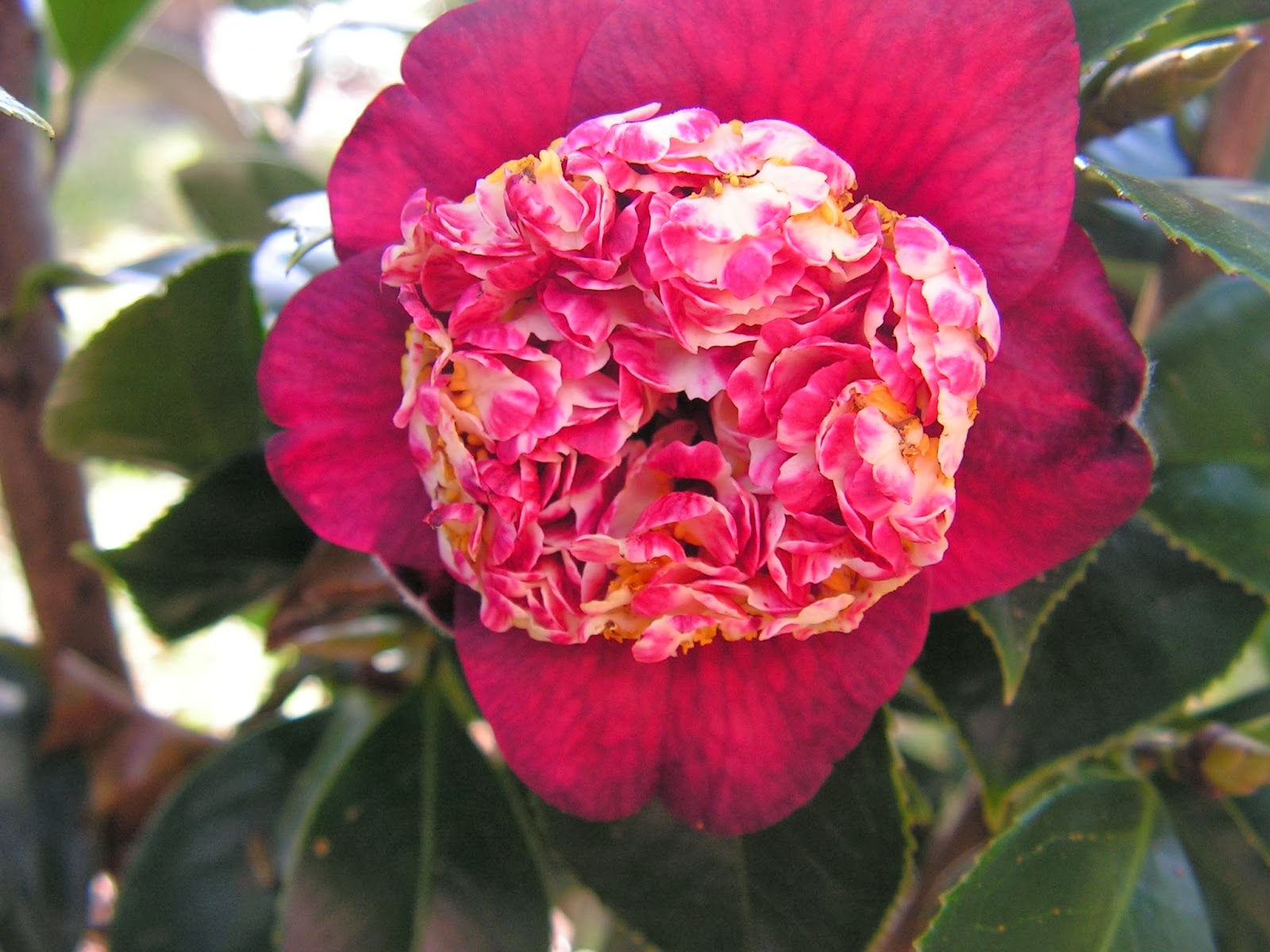 Captivating Camellias | My Enchanting Cottage Garden