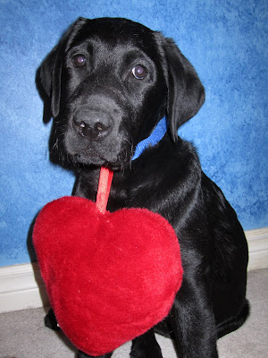Posing for his WILL YOU BE MY VALENTINE portrait, 3 month old black lab puppy Romero is sitting in front of a blue wall. A stuffed red heart about the size of his head is hanging by a red ribbon from his blue collar.