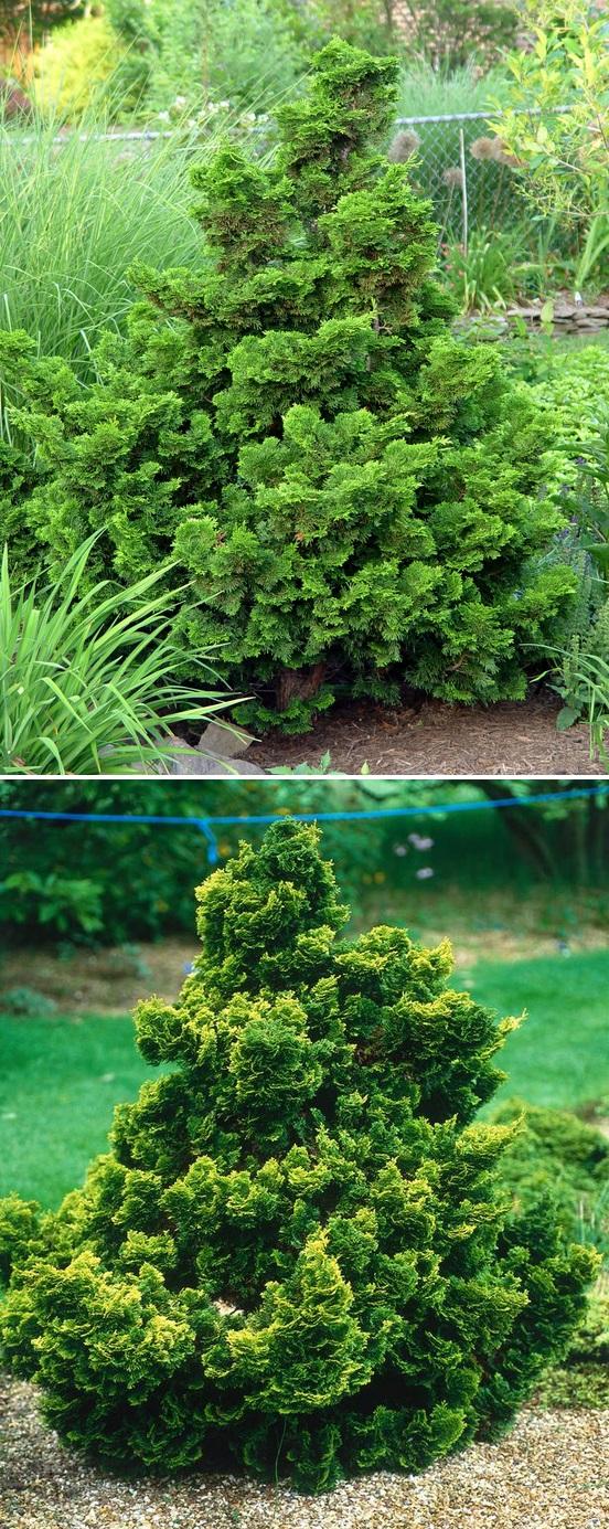 Dwarf Hinoki Cypress Trees