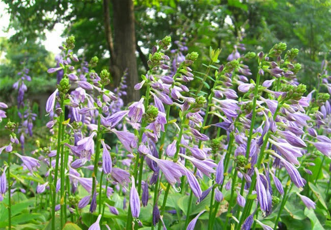Hosta Flowers Pictures