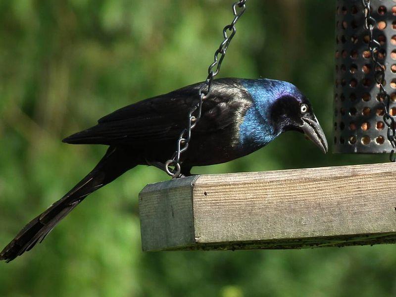 Cómo hacer tu propio Bird Feed - Suet Balls