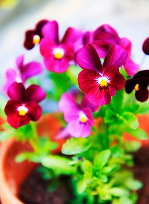inspiration violer pensé rosa trädgårdsdesign