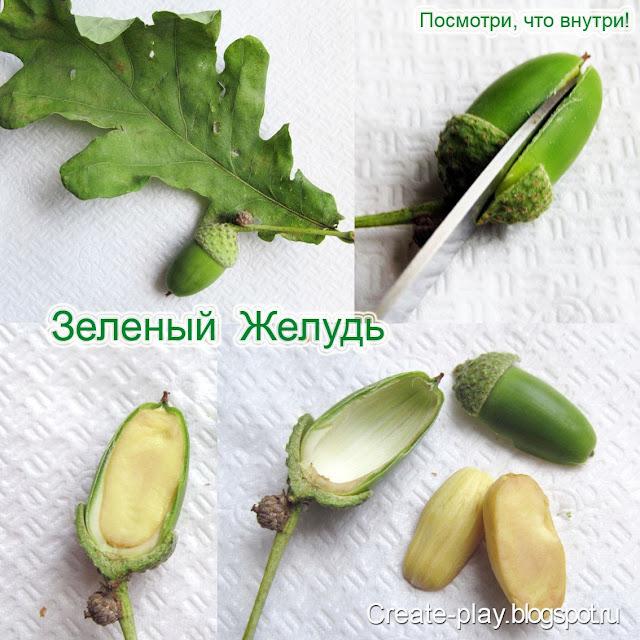 желудь зеленый в разрезе