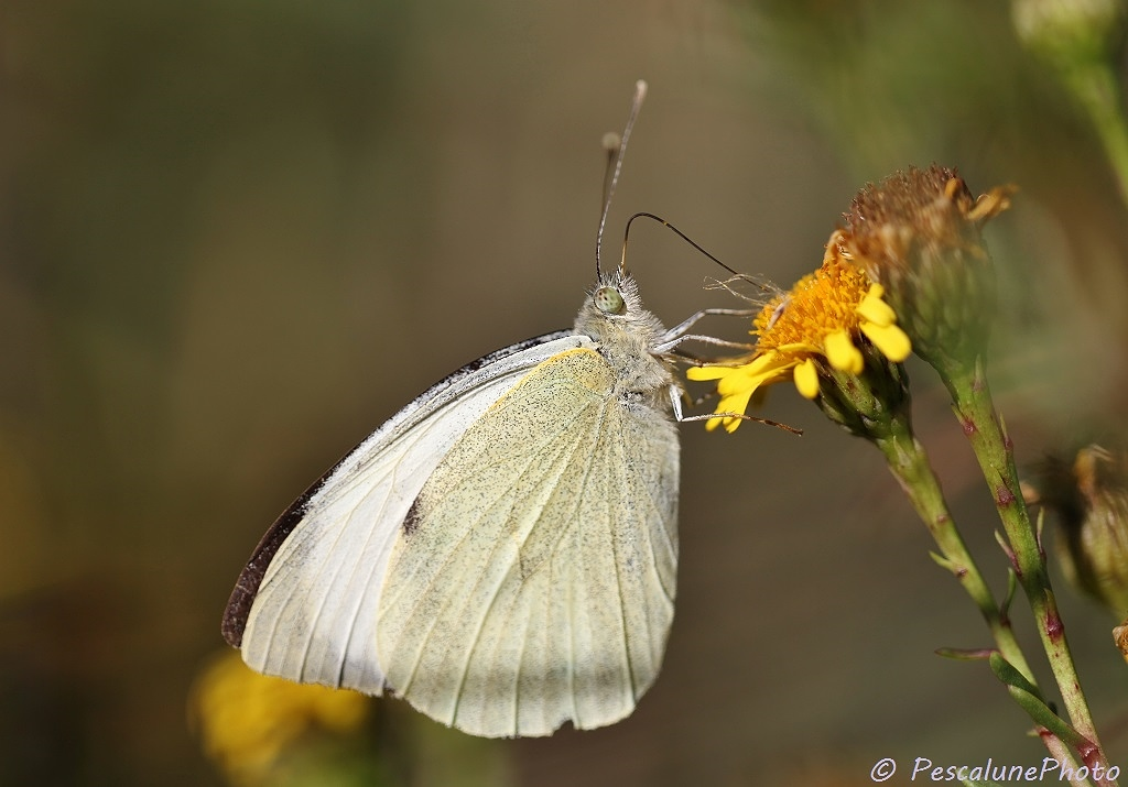 Piéride du chou (Pieris brassicae), Large cabbage White